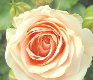 Zarte Rosen, leichter Duft und schönes Farbenspiel.