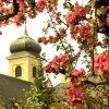 Obstwiesen, herrliche Apfelblüte im Frühling.